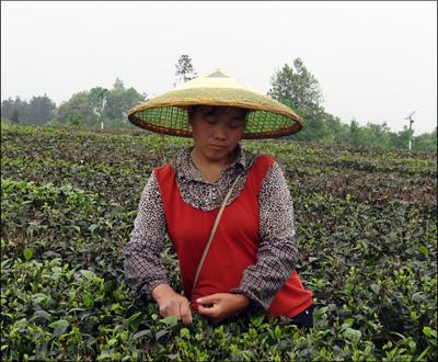 8 mai 2014 - Récolte du thé à Meitan, près de Zunyi, province du Guizhou